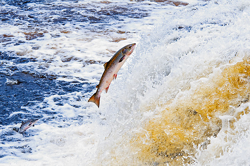 FSH 01 TK0002 01 © Kimball Stock Atlantic Salmon Leaping Up River