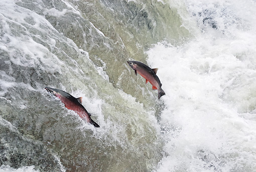 FSH 01 TL0001 01 © Kimball Stock Two Coho (AKA Silver) Salmon Leaping Up River