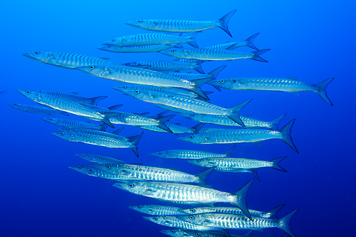 FSH 01 WF0003 01 © Kimball Stock School Of Blackfin Barracuda Swimming In Sea