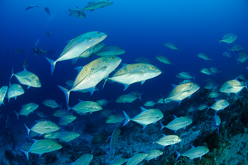 FSH 01 WF0006 01 © Kimball Stock School Of Bluefin Trevally Swimming In Sea