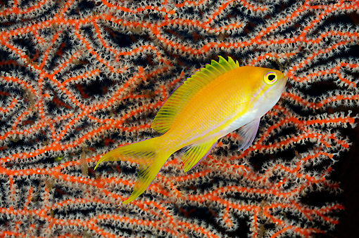 FSH 01 WF0015 01 © Kimball Stock Square-Spot Fairy Basslet Female In Front Of Coral