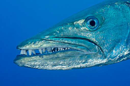 FSH 01 WF0023 01 © Kimball Stock Close-Up Of Blackfin Barracuda