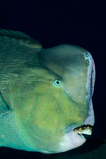FSH 01 WF0024 01 © Kimball Stock Portrait Of Green Humphead Parrotfish In Dark Underwater