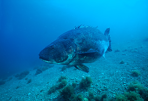 FSH 01 JM0014 01 © Kimball Stock Giant Sea Bass   Southern California
