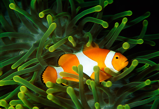 FSH 01 JM0023 01 © Kimball Stock False Clown Anemonefish Indonesia