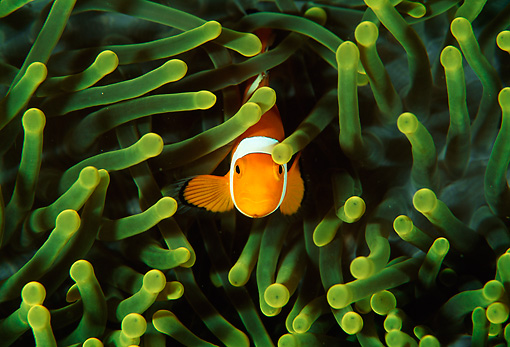 FSH 01 JM0025 01 © Kimball Stock False Clown Anemonefish  Indonesia