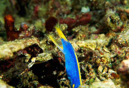 FSH 01 JM0026 01 © Kimball Stock Female Ribbon Eel  Indonesia
