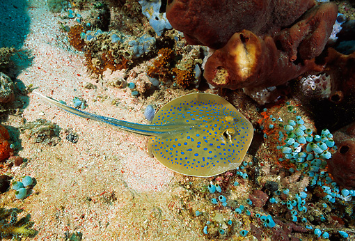 FSH 01 JM0028 01 © Kimball Stock Bluespotted Ribbontail Ray  Indonesia