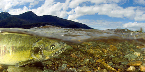FSH 01 JM0034 01 © Kimball Stock Chum Salmon Swimming In River Alaska