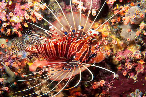 FSH 01 JM0036 01 © Kimball Stock Ragged-Finned Firefish (aka Lionfish) Swimming In Reef Malaysia