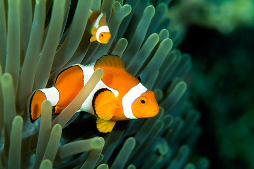 FSH 01 JM0042 01 © Kimball Stock False Clown Anemonefish Swimming Among Anemone Indonesia