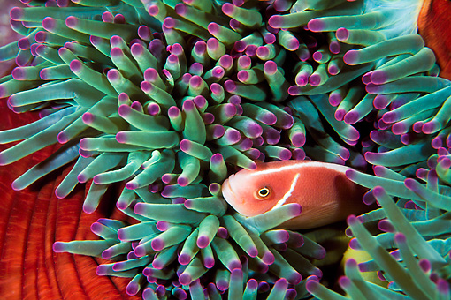 FSH 01 JM0044 01 © Kimball Stock Pink Anemonefish Swimming Among Anemone Indonesia