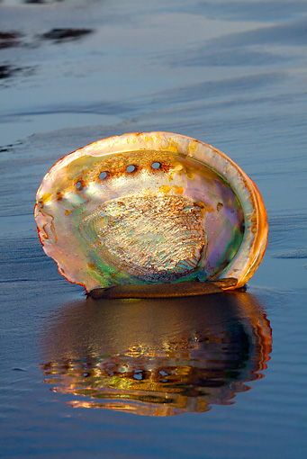 FSH 02 LS0001 01 © Kimball Stock Shell Of Red Abalone On Wet Sand At Dawn