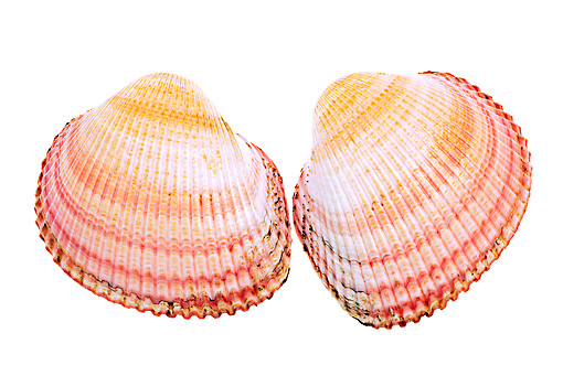 FSH 02 MH0014 01 © Kimball Stock Close Up Of Two Hairy Cockles In Studio