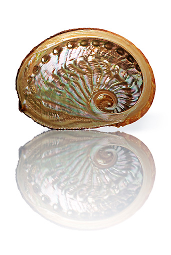 FSH 02 MH0020 01 © Kimball Stock Close Up Of Emma's Abalone With Reflection In Studio