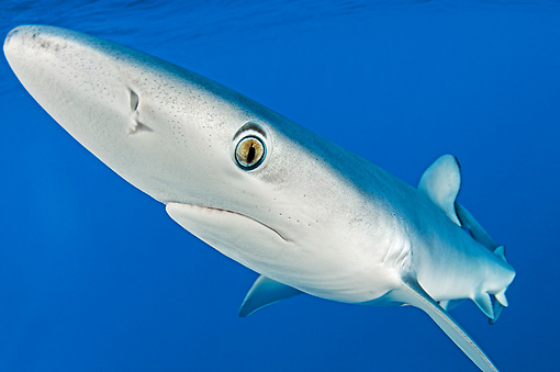 FSH 02 WF0001 01 © Kimball Stock Close-Up Of Blue Shark Swimming Underwater Atlantic Ocean