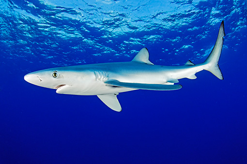 FSH 02 WF0002 01 © Kimball Stock Blue Shark Swimming Underwater Atlantic Ocean