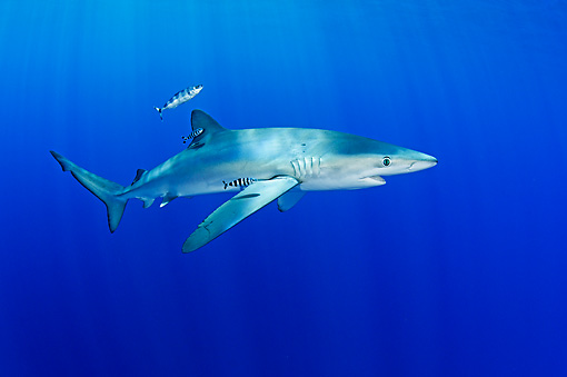 FSH 02 WF0004 01 © Kimball Stock Blue Shark And Pilot Fish Swimming Underwater Atlantic Ocean
