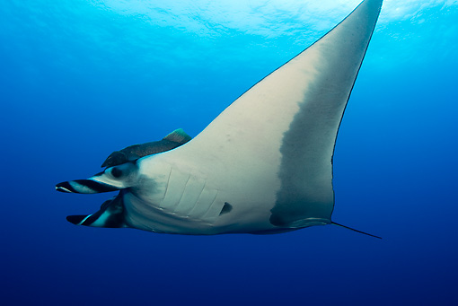 FSH 03 JM0001 01 © Kimball Stock Low View Of Manta Ray Swimming Mexico
