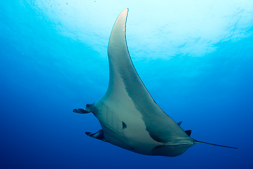 FSH 03 JM0003 01 © Kimball Stock Low View Of Manta Ray Swimming Mexico