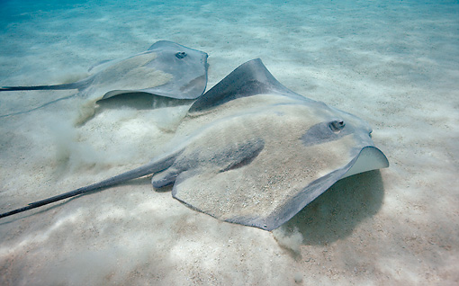 FSH 03 KH0002 01 © Kimball Stock Two Common Stingrays On Sand