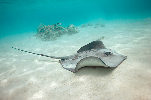 FSH 03 KH0003 01 © Kimball Stock Common Stingray Swimming On Sand
