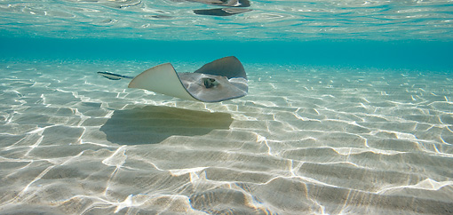 FSH 03 KH0004 01 © Kimball Stock Southern Stingray Swimming Bahamas