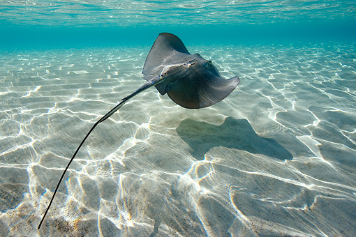FSH 03 KH0005 01 © Kimball Stock Southern Stingray Swimming Bahamas