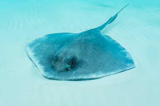 FSH 03 KH0007 01 © Kimball Stock Southern Stingray In The Bahamas