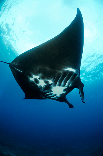 FSH 03 WF0004 01 © Kimball Stock Manta Ray Against Surface Of Water