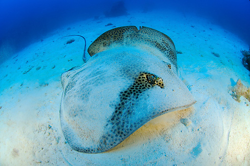 FSH 03 WF0011 01 © Kimball Stock Honeycomb Stingray On Sandy Sea Bottom