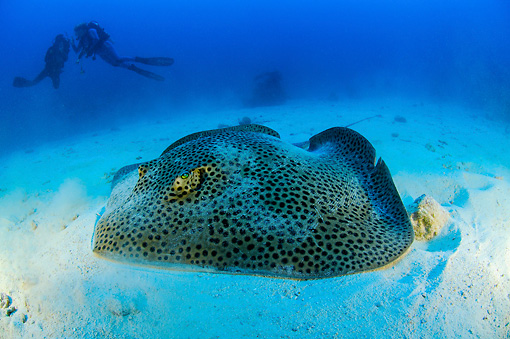 FSH 03 WF0012 01 © Kimball Stock Honeycomb Stingray On Sandy Sea Bottom By Divers