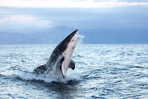 FSH 04 GL0001 01 © Kimball Stock Great White Shark Breaching In Bay South Africa