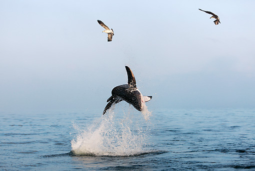 FSH 04 GL0002 01 © Kimball Stock Great White Shark Breaching In Bay South Africa
