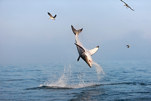FSH 04 GL0003 01 © Kimball Stock Great White Shark Breaching In Bay South Africa