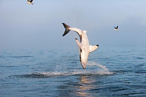 FSH 04 GL0004 01 © Kimball Stock Great White Shark Breaching In Bay South Africa
