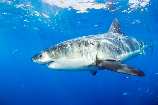FSH 04 JM0013 01 © Kimball Stock Great White Shark Swimming In Ocean Mexico