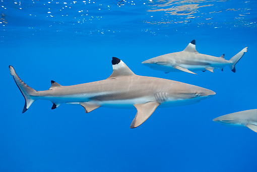 FSH 04 KH0006 01 © Kimball Stock School Of Blacktip Reef Sharks