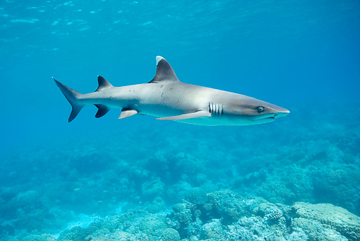 FSH 04 KH0009 01 © Kimball Stock Whitetip Reef Shark