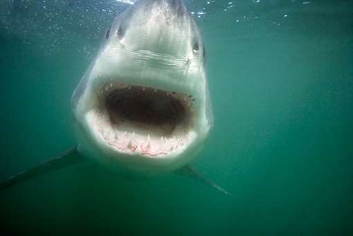 FSH 04 KH0011 01 © Kimball Stock Great White Shark Opening Mouth