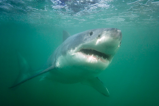 FSH 04 KH0013 01 © Kimball Stock Great White Shark