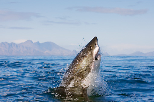 FSH 04 KH0015 01 © Kimball Stock Great White Shark Leaping Out Of Ocean Catching Seal