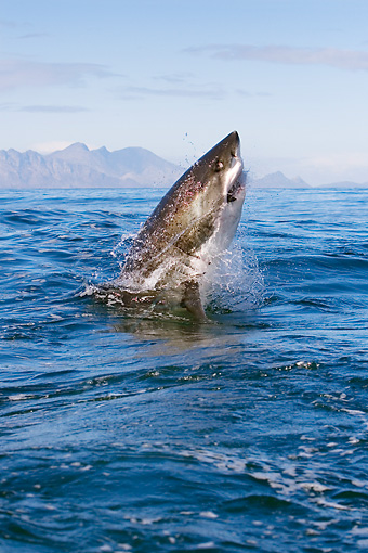 FSH 04 KH0016 01 © Kimball Stock Great White Shark Leaping Out Of Ocean Catching Seal