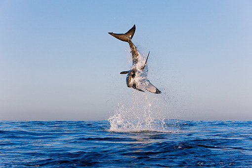 FSH 04 KH0018 01 © Kimball Stock Great White Shark Leaping Out Of Ocean Catching Seal