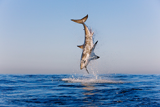 FSH 04 KH0019 01 © Kimball Stock Great White Shark Leaping Out Of Ocean Catching Seal