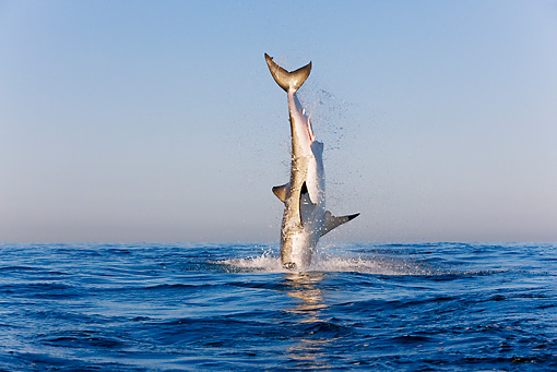 FSH 04 KH0020 01 © Kimball Stock Great White Shark Leaping Out Of Ocean Catching Seal