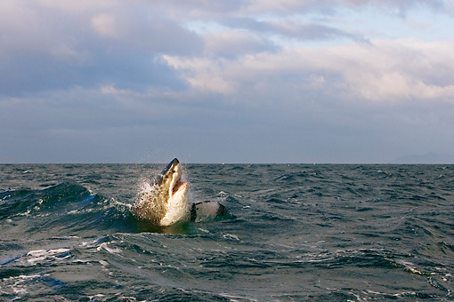 FSH 04 KH0021 01 © Kimball Stock Great White Shark Leaping Out Of Ocean