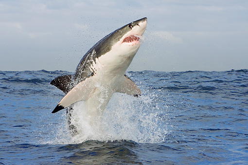 FSH 04 KH0022 01 © Kimball Stock Great White Shark Leaping Out Of Ocean
