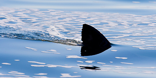 FSH 04 KH0024 01 © Kimball Stock Great White Shark Dorsal Fin Breaking Surface Of Ocean
