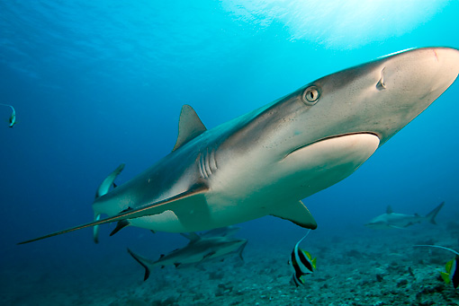 FSH 04 WF0001 01 © Kimball Stock Gray Reef Shark Swimming Underwater